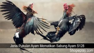 Jenis Pukulan Ayam Mematikan Sabung Ayam S128