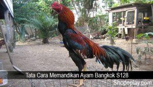 Tata Cara Memandikan Ayam Bangkok S128