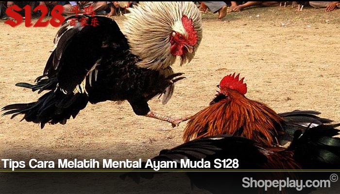 Tips Cara Melatih Mental Ayam Muda S128