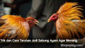 Trik dan Cara Taruhan Judi Sabung Ayam Agar Menang