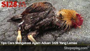 Tips Cara Mengatasi Ayam Aduan S128 Yang Lemas